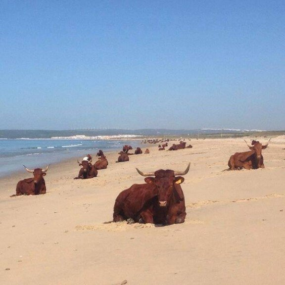 retinto cattle on beach