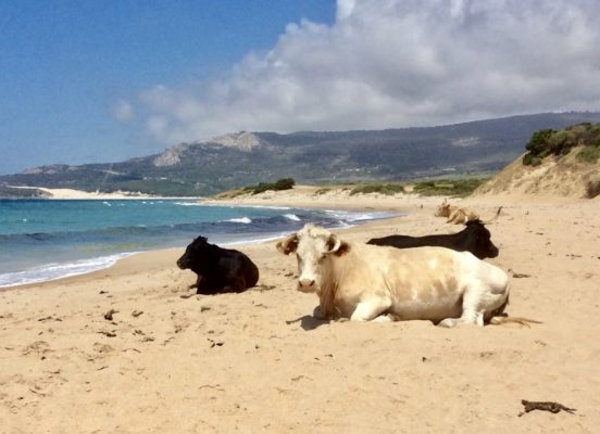 Cattle on the beach at Bolonia