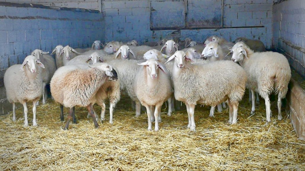 Assaf Sheep at Quesos de Leyva