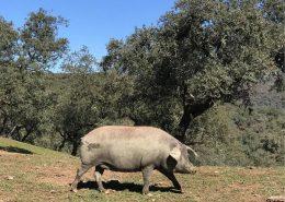 iberico pig