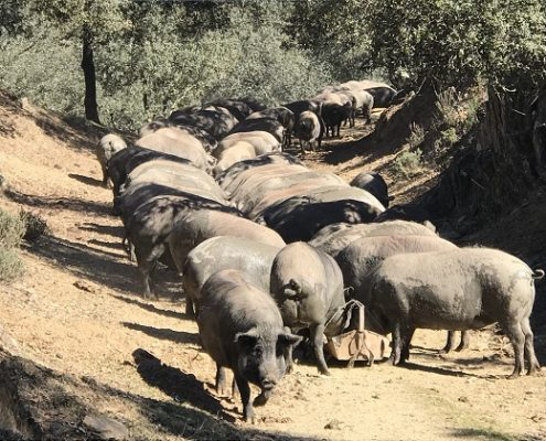 iberico pigs in andalucia